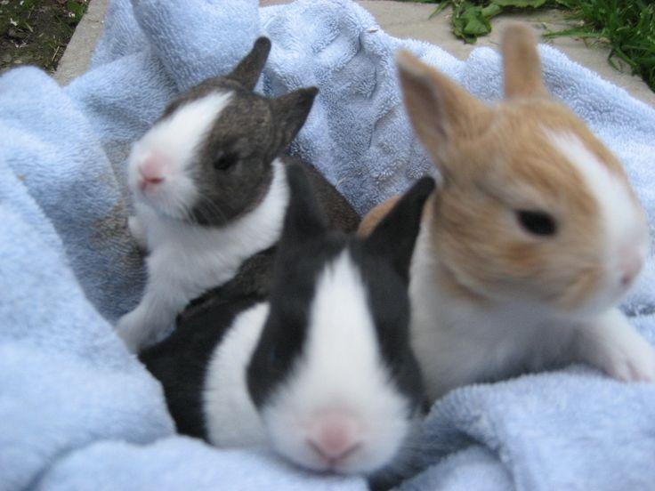 Dutch Rabbit | Dutch Rabbits