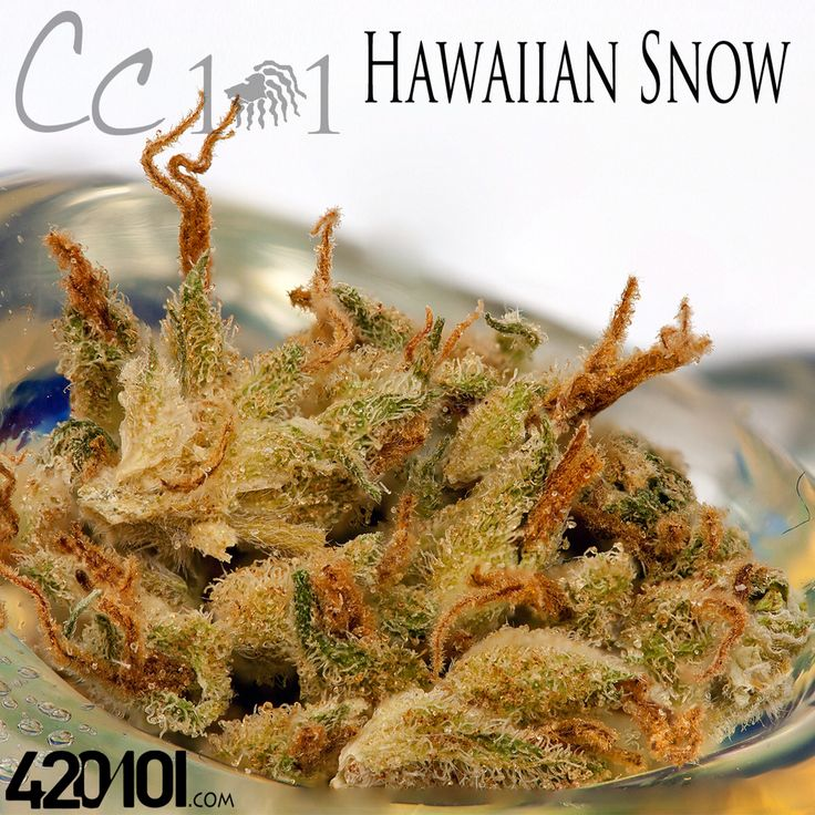 #HawaiianSnow is a pure sativa cross between #GreenHouse Seeds Hawaiian Sativa and Heirloom Laos Landrace.  #weedporn #bowlporn #glassporn