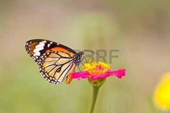Monarch butterfly on zinnia flower photo