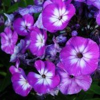 Floks wiechowaty (Phlox paniculata)  Ta bylina na trwałe wpisała się w krajobraz ogrodów wiejskich. To dość wysoka roślina (80-150 cm) o zwartym pokroju, przepięknie kwitnąca od lipca aż do października. Tworzy obfite, wiechowate kwiatostany o kwiatach barwy białej, różowej, czerwonej i niebieskiej. Kwiaty wydzielają przyjemny, słodkawy zapach.