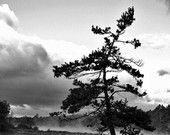 Georgian Bay Pine Tree in Black and White - Buy this photo on etsy