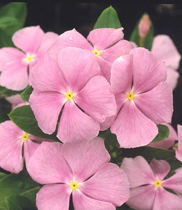 This pretty pink flower can tolerate a wide variety of conditions. Here is everything you need to know about Annual vinca: http://www.bhg.com/gardening/plant-dictionary/annual/annual-vinca/?socsrc=bhgpin102313annualvinca