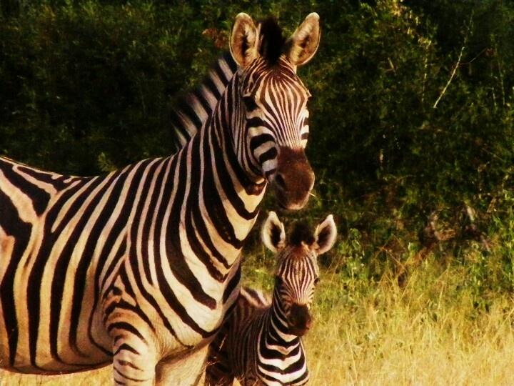 Baby zebra with mommy