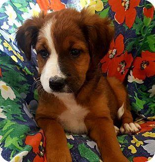New York, NY - Australian Shepherd/Boxer Mix. Meet Bonita! **FOSTER NEEDED**, a puppy for adoption. http://www.adoptapet.com/pet/15653600-new-york-new-york-australian-shepherd-mix