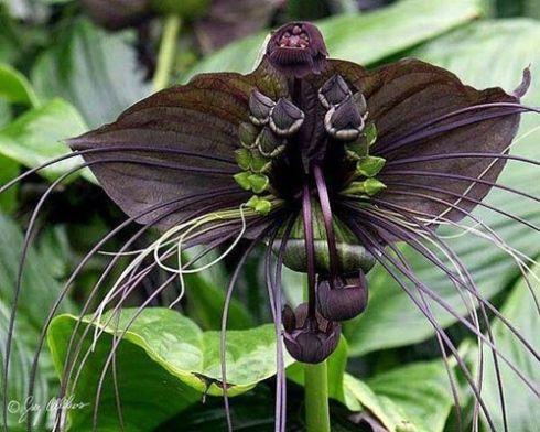 Orchidée chauve-souris L'orchidée chauve-souris est une fleur rare pratiquement noire qui ressemble à une chauve-souris, de là son nom!