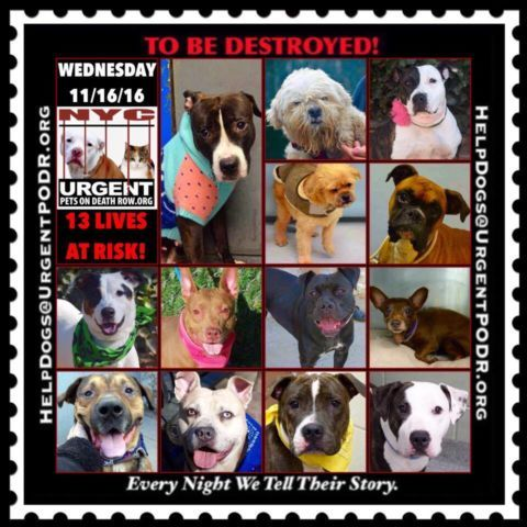 """13 BEAUTIFUL LIVES TO BE DESTROYED 11/16/16  @ NYC ACC **SO MANY GREAT DOGS HAVE BEEN KILLED: Puppies, Throw Away Mamas, Good Family Dogs. This is a HIGH KILL """"CARE CENTER"""" w/ POOR LIVING CONDITIONS.  Please Share:  To rescue a Death Row Dog, Please read this: http://information.urgentpodr.org/adoption-info-and-list-of-rescues/"""