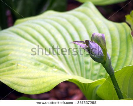 Spring shot of Hosta bud. - stock photo