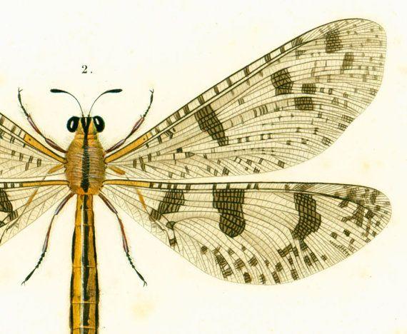 1861 Ascalaphe macaron Myrméléon libelluloide par sofrenchvintage