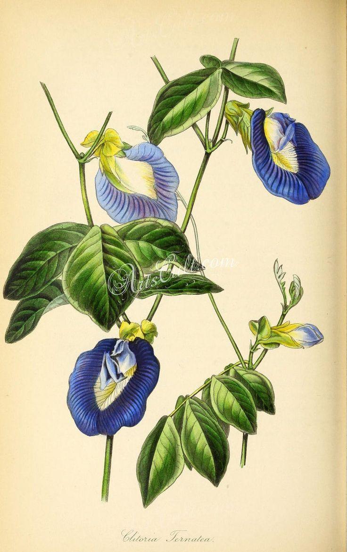 Flowers 26973 Ternatea Clitoria Ternatea Asian Etsy Antique Botanical Print Botanical Drawings Vintage Botanical Prints