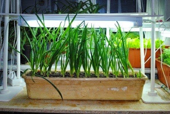 Выращивание лука дома на подоконнике - Помічник Online