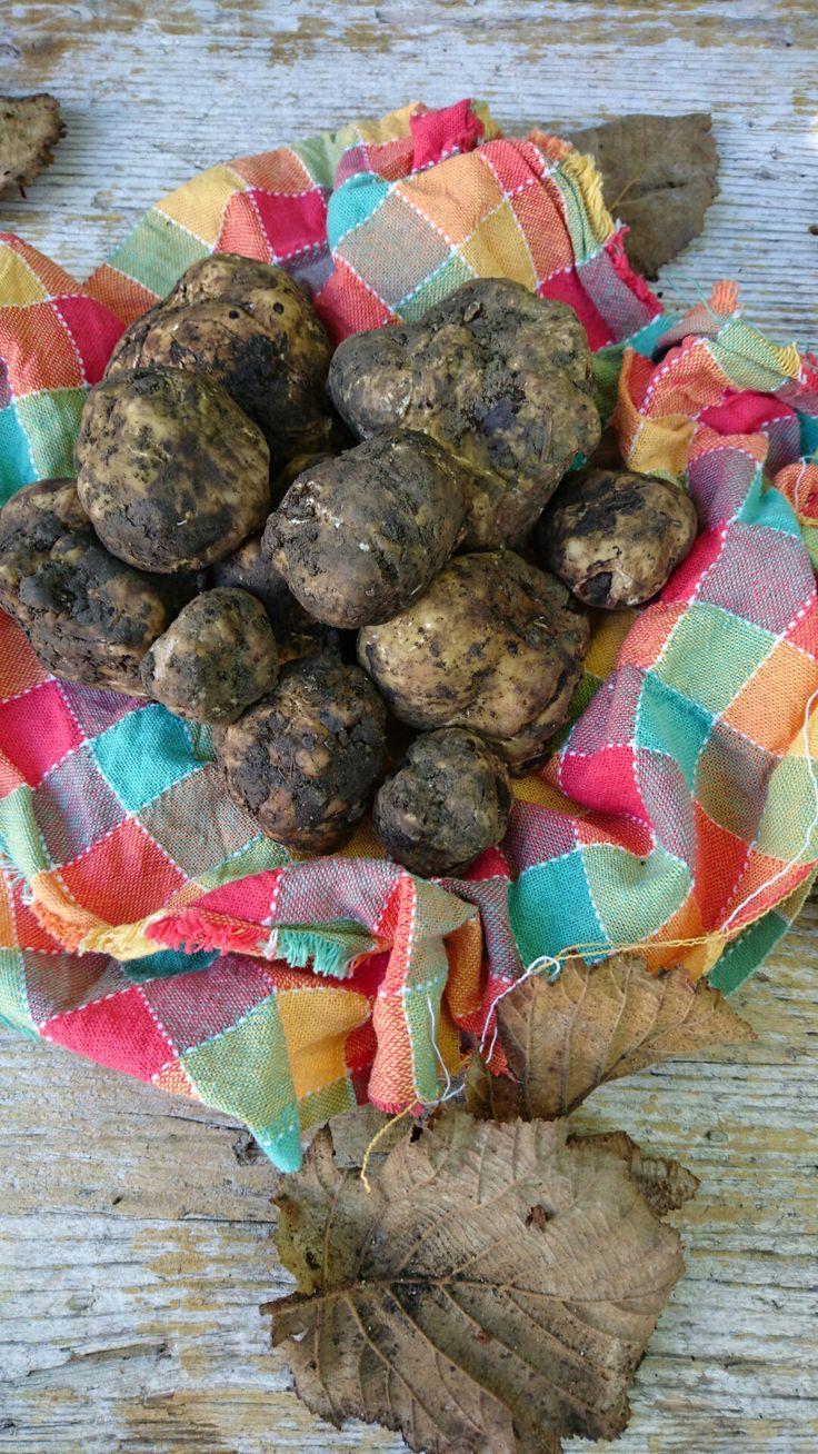 Italian White truffle #Borrello #Abruzzo #Italy