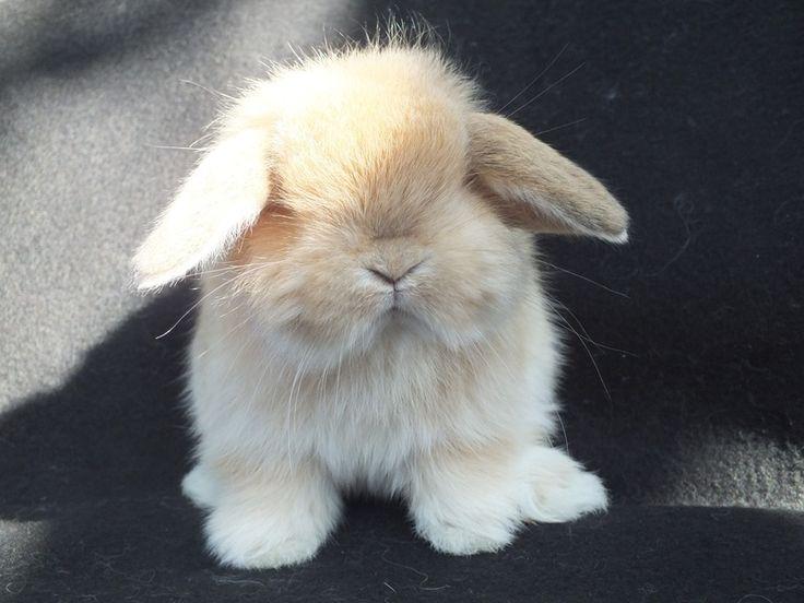 HOW ADORABLE!!!- Sarejali Bunnies, Cashmere mini lop