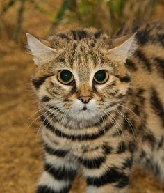 Resultado de imagem para Gato Bravo (Gato-selvagem-europeu)