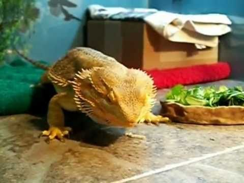 Havoc Eating 3 Hornworms