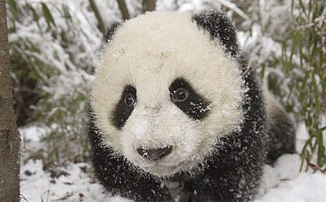 Birrrrrrrr That's cold ! Poor panda what was he thinking jumping threw the snow like that .