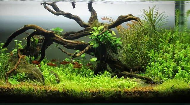 peces de cardumen acuario agua dulce - Buscar con Google