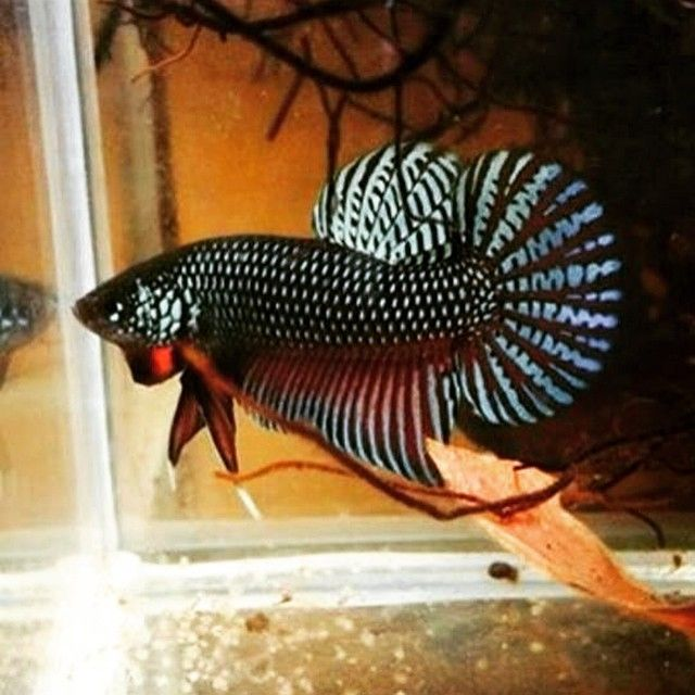 25 best ideas about betta tattoo on pinterest fish for Wild betta fish