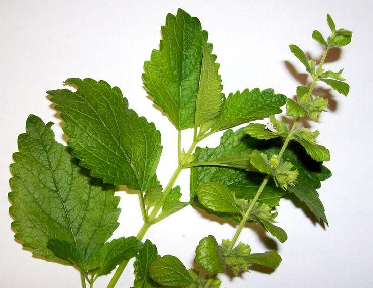 Medovka lekárska má povesť účinnej bylinky pre podporu dobrého zdravia. Tejto bylinke sa pripisuje výrazný vplyv na energiu a dlhovekosť a vedecké iba potvrdzujú jej reputáciu. Tu je deväť pôsobivý…