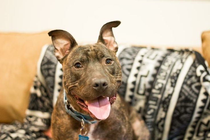 This is a dog sport fanatics dream dog! He is up for adoption in Seattle, WA