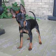 Manchester Terrier (Toy). They are members of the toy group. They are great vermin hunters. They stand at 10-12 inches at the shoulder and weigh up to 12 pounds.