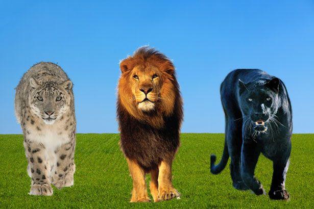 Hópárduc, oroszlán, fekete párduc