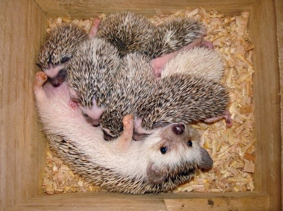 I own two hedgehogs and love them, this is a mommy and her babies! I hope mine will have babies soon :)