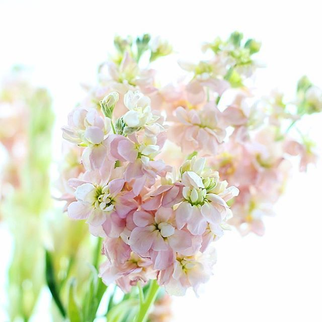 #stock ..... Beautiful to smell and to look at.  #bloomingdecormondays #lovely_airy_ #pocket_pretty_women #bella_pastels #at_diff #global_ladies #click_vision #nothingisordinary #myeverydaymagic #shared_joy #snap_ish #prettiestpastels #underthefloralspell #super_romanticas #softanddreamyphotography #mypastelcharm