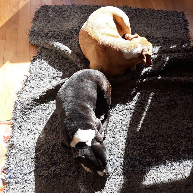 Perros al sol. Se colocan como de piezas de tetris se trataran.  Estos pequeños te roban el corazón  en maneras insospechadas.  #staffy #pitbull #perrosviejos #viejitos #oldsdogs #ilovemydog #amoamiperro #miperroesmifamila #pet #cuteanimal cute #sleeping #dormidos #sol #sombra #juego #tetris #instadog #amigos