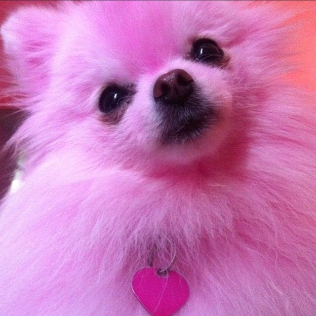 8 best Perfect Pink Puppies images on Pinterest | Cats ... - photo#21