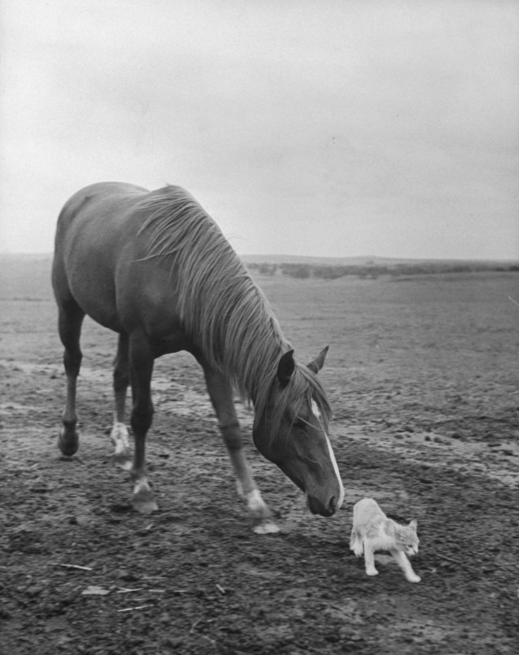 (International Day of Friendship) Stallion trying to make friends with a barn cat, 1943. Hansel Mieth—The LIFE Picture Collection/Getty Images
