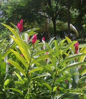 Bunga Red Ginger di Tengah Taman