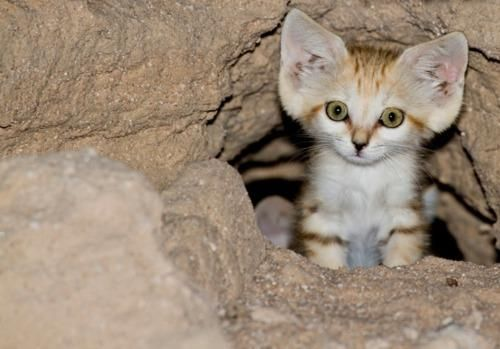 Endangered species: Sand cat (kitten)! I want to hug it.