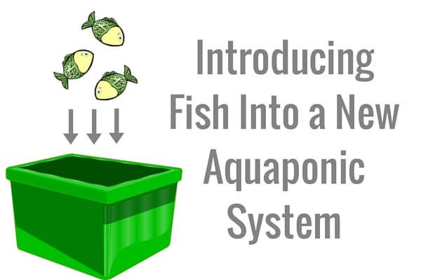 Introducing Fish Into a New Aquaponic System