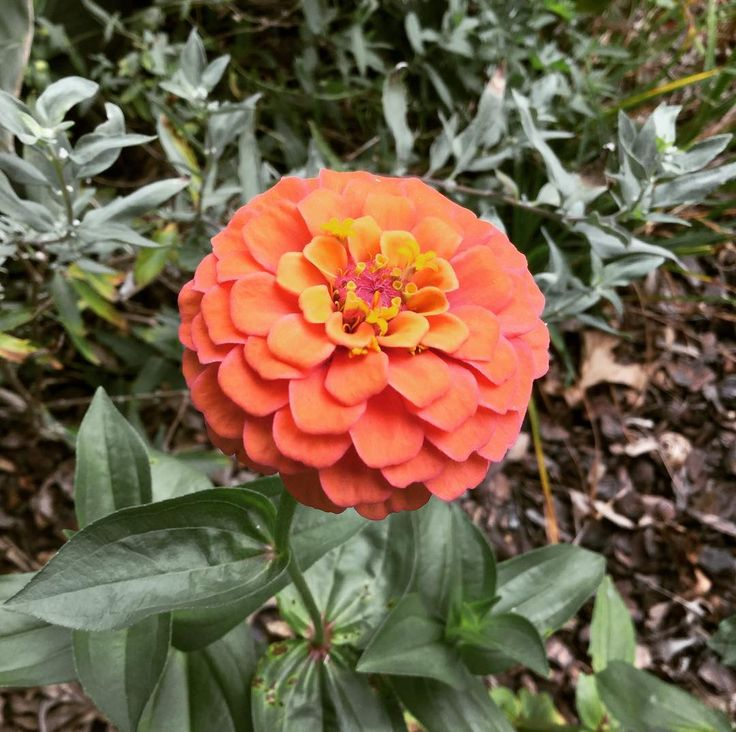 Cute as a Button -- Peach Zinnia! #Zinnias #grow from #seed #seeds very quickly. It takes about 7 weeks from the time you #sowedseed #sowedseeds to get gorgeous #flowers #flower #flowerphotography #flowerphotograph #flowerphoto #flowerphotos #flowerpic #flowerpics #garden #gardens #gardening #gardeningtips #gardeningtipsforbeginners #beginnergardener #beginnergardening #gardeninspiration #plant #plants #grow #growfromseed #growfromseeds #growing #peach #peachflower #peachflowers #spring…