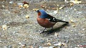 Birds (Avis) ჩიტები: Common Chaffinch (Fringilla coelebs) სკვინჩა
