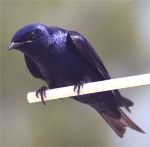 purple martins really are a very shiny purple