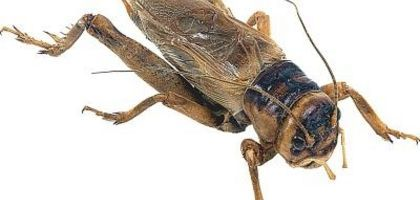 """Use live crickets in a """"Fear Factor"""" party game."""