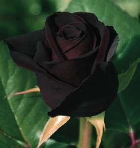 Negro Baccara, la rosa más oscuro, casi negro.