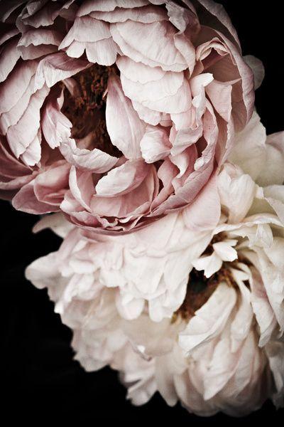 Pink Peonies | Flowers