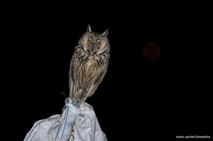 Bufo-pequeno Long-eared Owl (Asio otus)