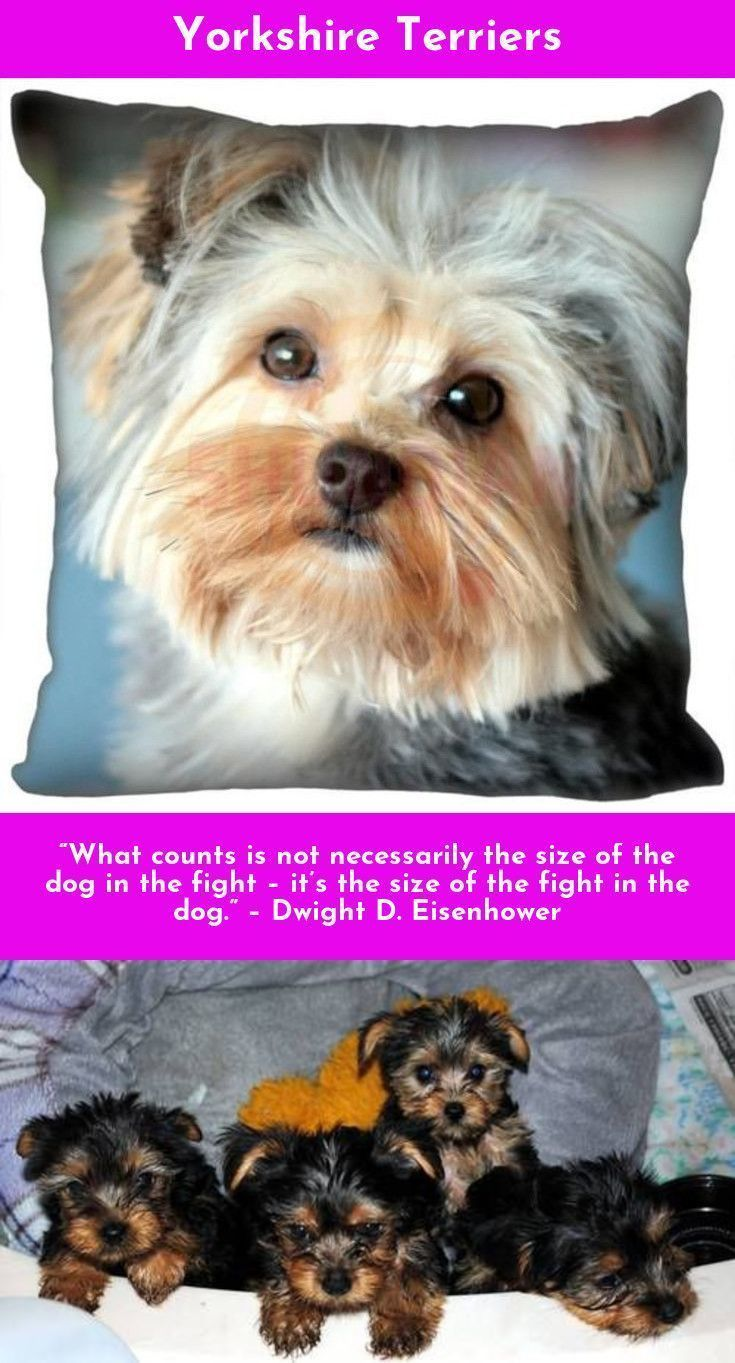 Learn More About Yorkshire Terriers Yorkshireterrier Yorkielove Check The Webpage To Read More Yorkshire Terrier Puppies Yorkshire Terrier Yorkie