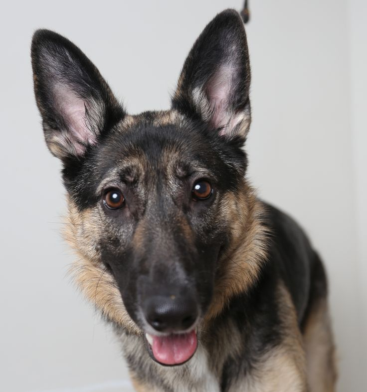 German Shepherd Dog dog for Adoption in Eden Prairie, MN. ADN-472440 on PuppyFinder.com Gender: Female. Age: Adult