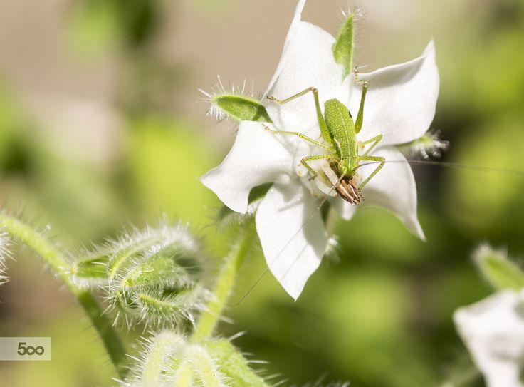 Grasshopper in Borago alba (edible flower)