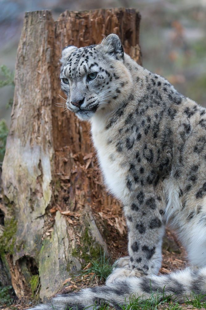 Snow Leopard by Peter Weimann                                                                                                                                                                                 More
