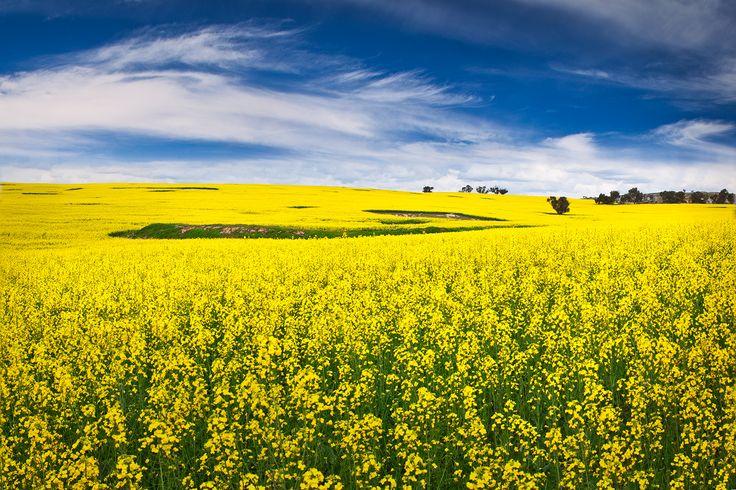 #Canola Field - #York. Western #Australia - Luke Austin Soulscape Photography - Gallery