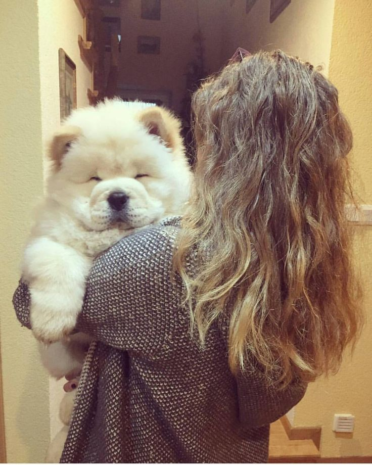 Best Doggies Chow Images On Pinterest Chow Chow Puppies - This instagram chow chow looks like a fluffy potato and its so cute it doesnt even look real