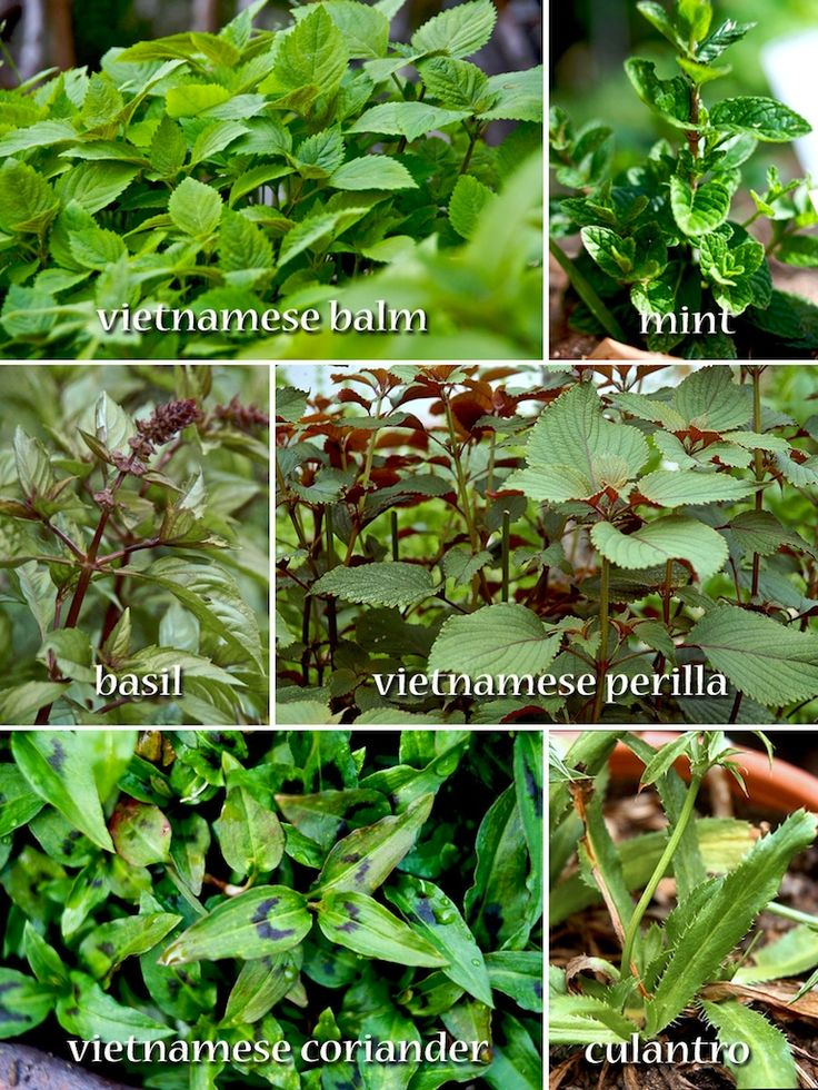 Vietnamese herbs Here is a basic guide to common Vietnamese herbs: (More in-depth guide is available at VietHerbs.com