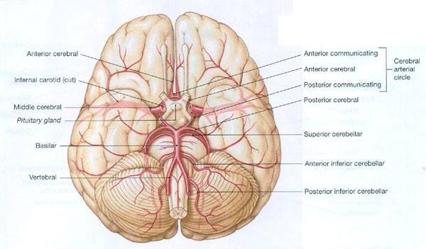 Inferior Cerebral Arteries