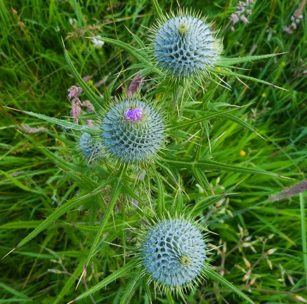 Spear thistle (Cirsium vulgare) flower heads not yet opened.  Near Thurso, Caithness, Scotland.