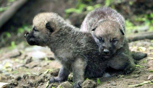 Cuccioli di lupo in una foto Olycom